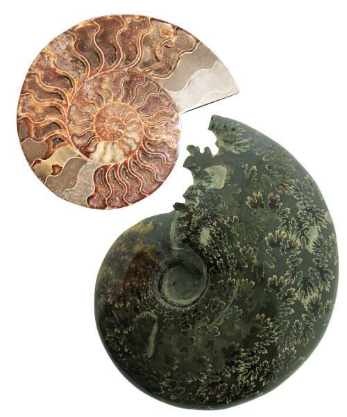 Ammonieten heel en doorgezaagd - Circles Art&Jewelry - Zwijndrecht