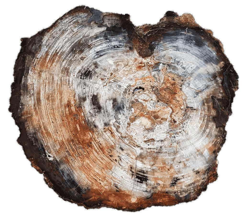 Prachtige plaat versteend hout uit Arizona - collectie Circles Art&Jewelry-Zwijndrecht-078-6200966